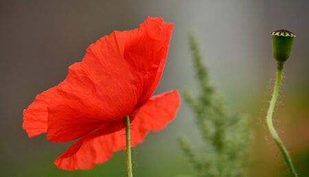 intense: Beautiful poppy flower isolated of intense color
