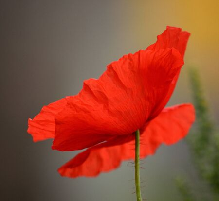 intense: Beautiful red poppy isolated in foreground with intense color and texture