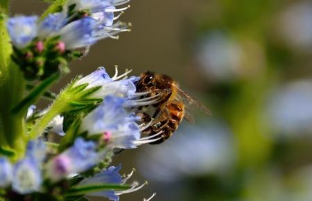 echium: Bee on echium wildflowers