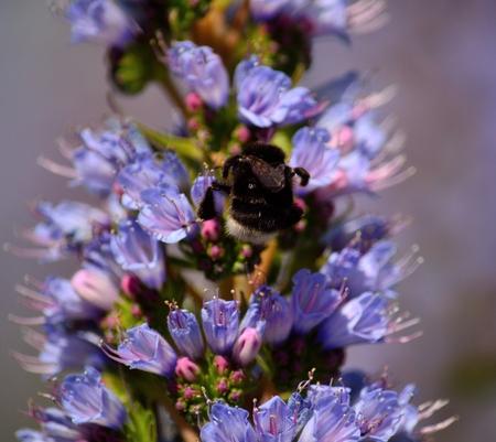echium: Bumblebee sucking nectar on echium wildflowers, Canary islands
