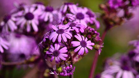 mayflower: May wildflowers in full splendor, pericallis webbii, Canary islands