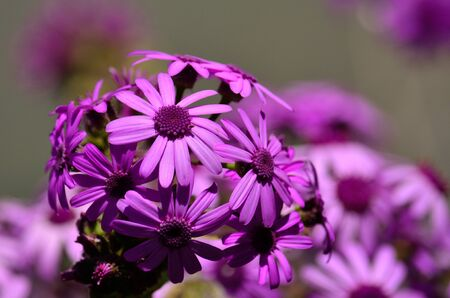 splendor: May wildflowers in full splendor, pericallis webbii, Canary islands
