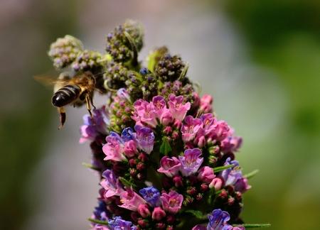 echium: Echium wildflowers and bee in flight approaching, Canary islands Stock Photo