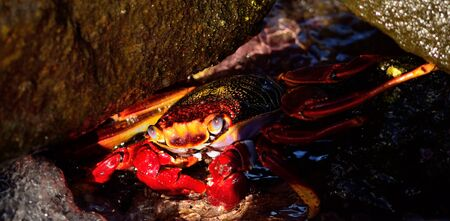 decapod: Large red crab
