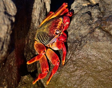 crustacea: Large red crab