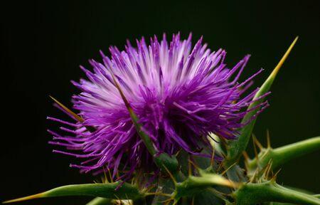 Milk thistle flower, silybum marianum