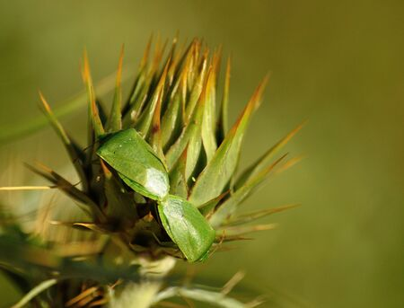 procreation: Couple of small green bugs in mating ritual on flower head of wild artichoke before flowering, Nezara viridula Stock Photo