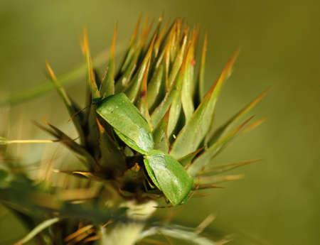 Couple of small green bugs in mating ritual on flower head of wild artichoke before flowering, Nezara viridula Stock Photo