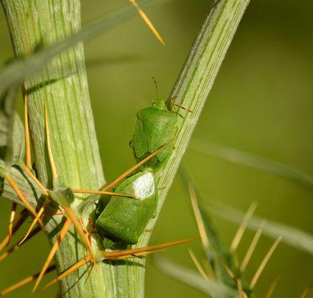 Couple of small green bugs in mating ritual among branches of wild artichoke, Nezara viridula Stock Photo