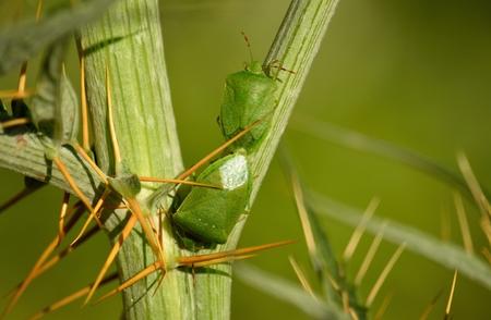 copulation: Couple of small green bugs in mating ritual among branches of wild artichoke, Nezara viridula Stock Photo