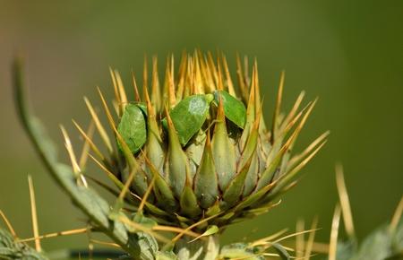 copulation: Couple of small green bugs in mating ritual on flower head of wild artichoke before flowering, Nezara viridula Stock Photo