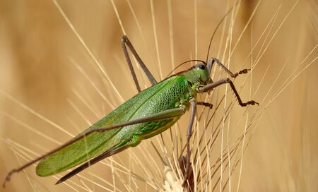 caelifera: Large green grasshopper among the wheat spikes Stock Photo