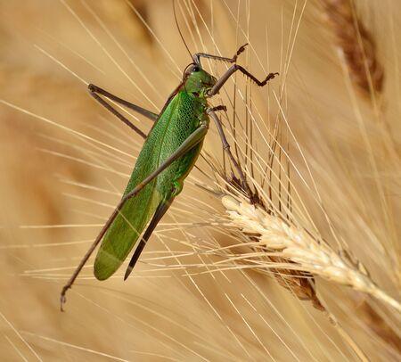 caelifera: Large green grasshopper among the wheat spikes Stock Photo