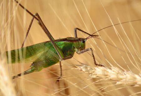 小麦のスパイクの中で大きな緑のバッタ