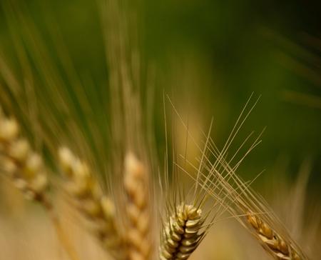 gramineous: Wheat spikes Stock Photo