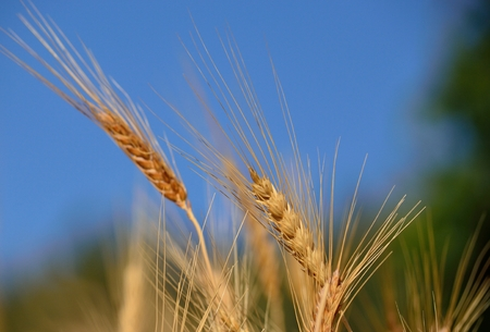 gramineous: Wheat spikes isolated with the blue and green background