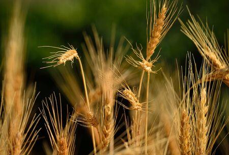 gramineous: Wheat field