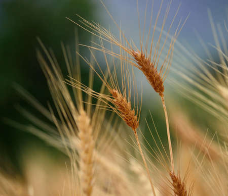 gramineous: Wheat spikes in early summer