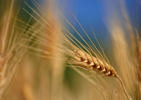 gramineous: Wheat spike isolated Stock Photo