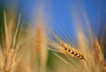 spike: Wheat spike isolated Stock Photo