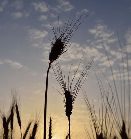 gramineous: Wheat spikes isolated at sunrise in early summer Stock Photo