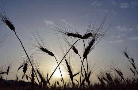 gramineous: Wheat field backlit at sunrise in early summer