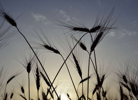 gramineous: Wheat spikes backlit at sunrise in early summer