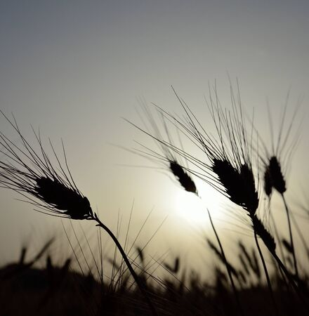 gramineous: Wheat spikes backlit with intense sun at dawn