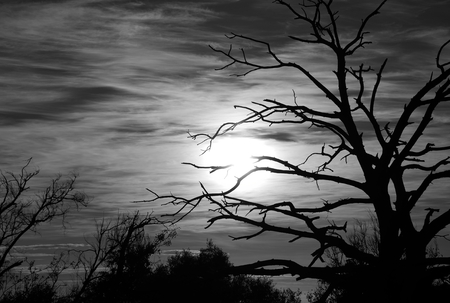 chromatic: Backlit dry tree at sunrise with monochrome effect