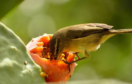 Small bird eating the fresh fruit on prickly pear, Phylloscopus
