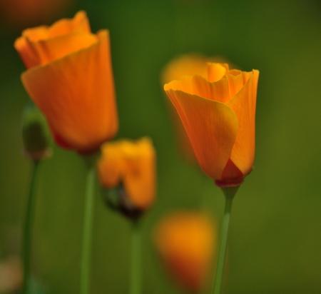 Beautiful wildflowers eschscholzia californica