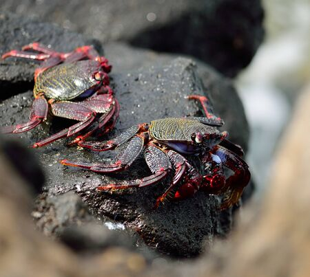 decapod: Red crab of Canary islands, Grapsus grapsus adscensionis