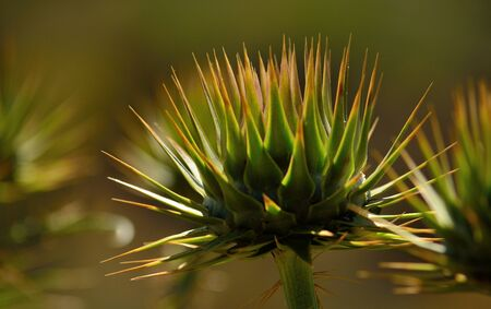 Flower head of wild artichoke about to open in late spring Stock Photo