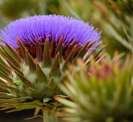 splendor: Wild artichoke flower in full splendor in late spring Stock Photo