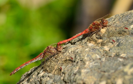 Sympetrum dragonflies on a rock in mating ritual