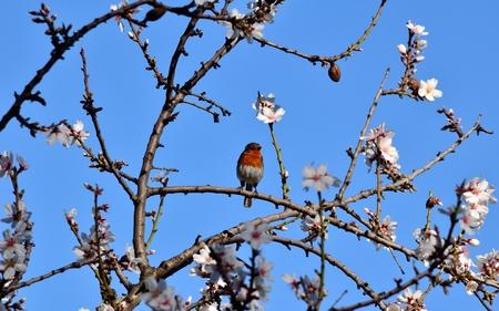 robin bird: Small robin bird on almond tree in full bloom