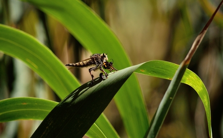 asilidae: Robber fly on cane leaf with wasp under its claws