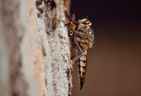 asilidae: Robber fly with wasp under the claws