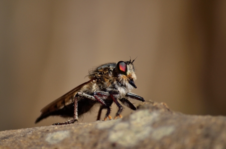 asilidae: Great Robber fly in foreground watching intently