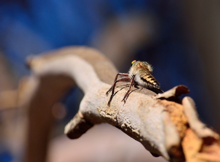 asilidae: Robber fly perched on tree branch and waiting a prey