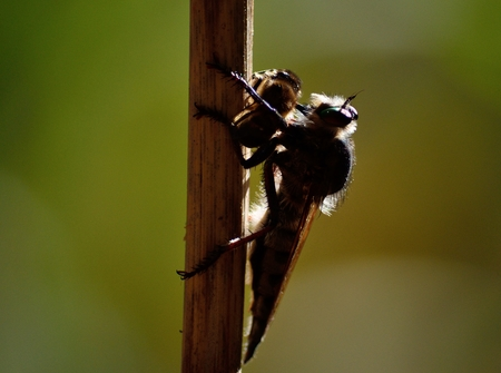Robber fly backlit with bee under its claws Stock Photo