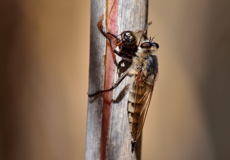 asilidae: Robber fly on cane stalk with bee under its claws