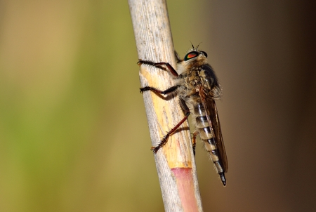 asilidae: Great Robber fly perched on cane stalk Stock Photo