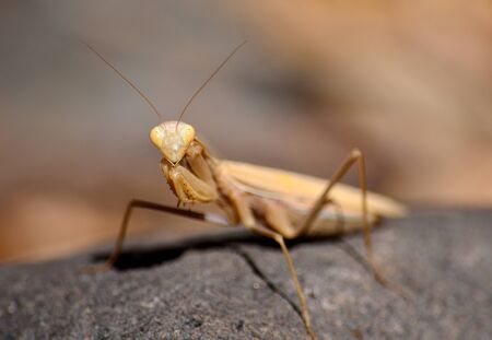Isolated Praying mantis in foreground on rock