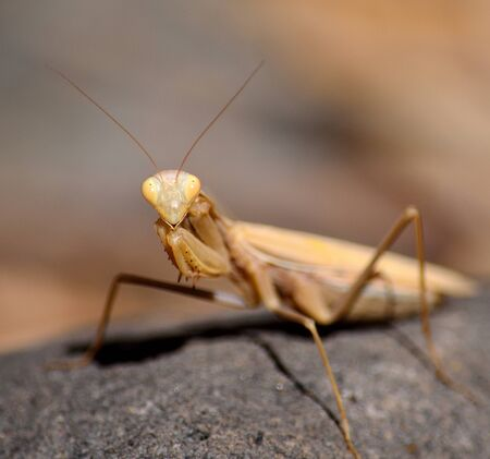 foreground: Isolated Praying mantis in foreground on rock