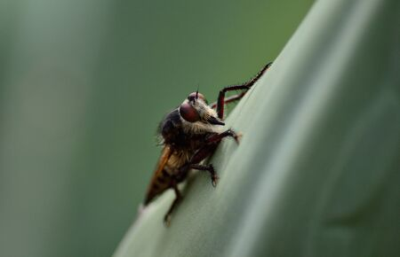 asilidae: Isolated robber fly, on leaf of agave Stock Photo