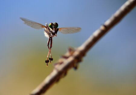 asilidae: Courtship ritual of robber flies, in full flight Stock Photo
