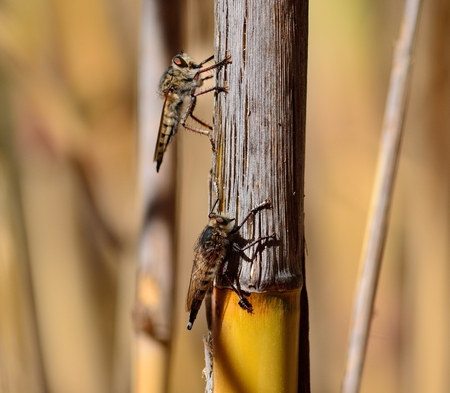 asilidae: Courtship ritual of robber flies, on cane stalk