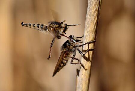 asilidae: Courtship ritual of robber flies, in full flight Stock Photo