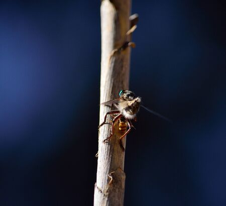 asilidae: Robber fly with a small prey on cane stalk